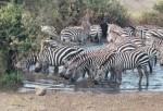 Zebras Stripes